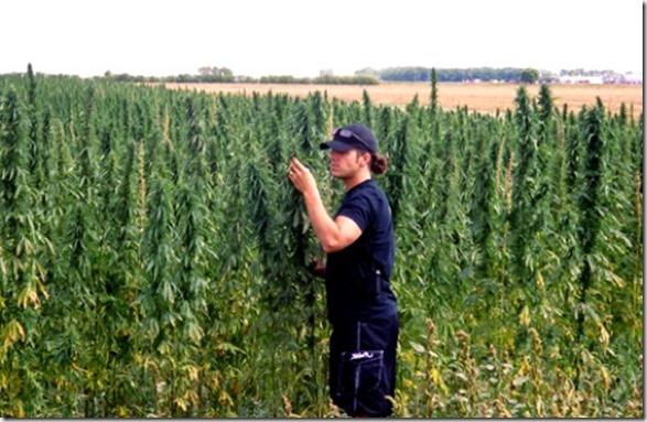 manitoba-hemp-crop-under-inspection