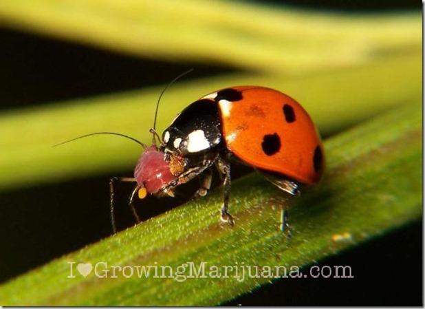 06-ladybug-pretador-aphid-cannabis