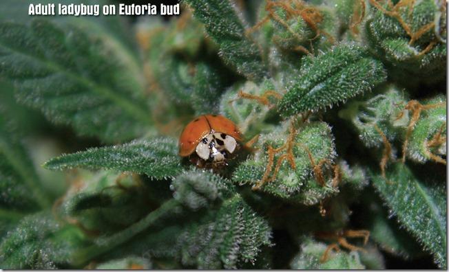 das-bud-ladybug
