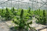 mass-producing-weed_thumb.jpg