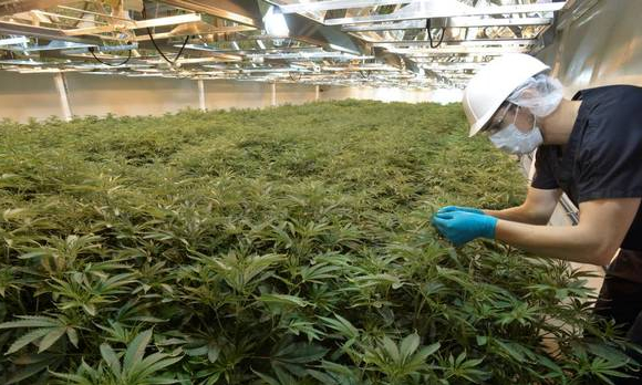 The Transferable Skills Of A Cannabis Grower Cannabis Digest