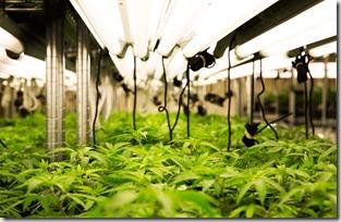 Marijuana-Grow-Room-Closeup