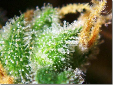 Cannabis_female_flowers_close-up
