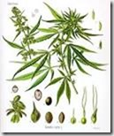 cannabis in wiki