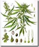 cannabis in wiki