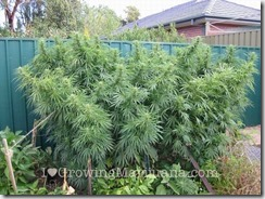 01-marijuana-fertilizers