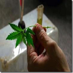 marijuana-clone