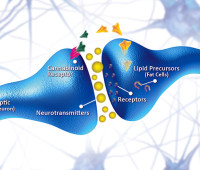 cannabinoid-receptors-and-neurotransmitters