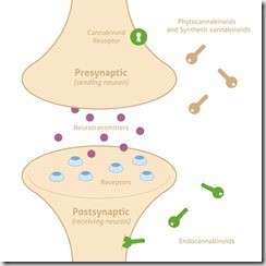 articles-endocannabinoid-system_text_1